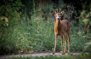 roe-deer-880581_1280